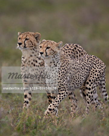 Cheetah (Acinonyx jubatus) cubs, Serengeti National Park, Tanzania, East Africa, Africa Stock Photo - Premium Royalty-Free, Image code: 6119-07452628