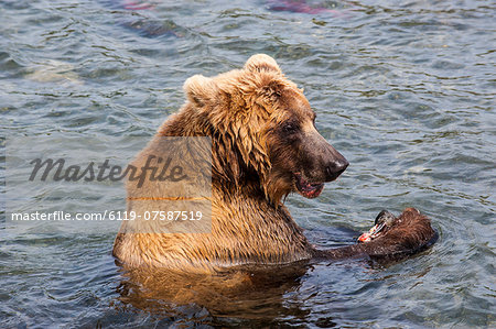 Kamchatka brown bear (Ursus arctos beringianus) eating salmon, Kurile Lake, Kamchatka, Russia, Eurasia Stock Photo - Premium Royalty-Free, Image code: 6119-07587519