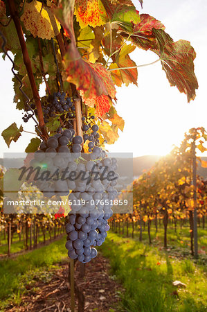 Vineyards with red wine grapes in autumn at sunset, Esslingen, Baden Wurttemberg, Germany, Europe Stock Photo - Premium Royalty-Free, Image code: 6119-07651859