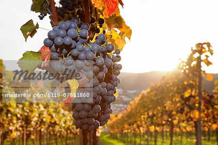 Vineyards with red wine grapes in autumn at sunset, Esslingen, Baden Wurttemberg, Germany, Europe Stock Photo - Premium Royalty-Free, Image code: 6119-07651860