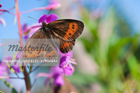 Scotch Argus Butterfly perching on fireweed Stock Photo - Premium Royalty-Free, Image code: 6121-07914044