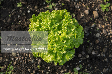 Lettuce from above earth close-up vegetable garden Stock Photo - Premium Royalty-Free, Image code: 6121-07970056