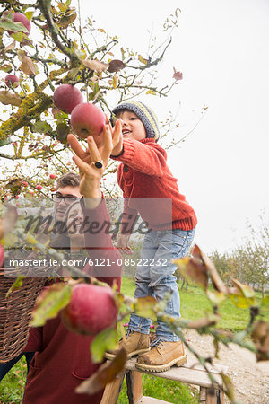 Family picking apples in an apple orchard, Bavaria, Germany Stock Photo - Premium Royalty-Free, Image code: 6121-08522232