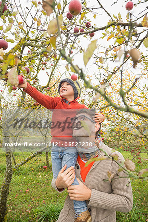 Man carrying his son on shoulder for picking apples from tree in an apple orchard, Bavaria, Germany Stock Photo - Premium Royalty-Free, Image code: 6121-08522238