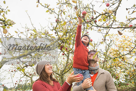 Man carrying his son on shoulder for picking apples from tree in an apple orchard, Bavaria, Germany Stock Photo - Premium Royalty-Free, Image code: 6121-08522239