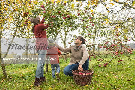 Family picking apples in an apple orchard, Bavaria, Germany Stock Photo - Premium Royalty-Free, Image code: 6121-08522242