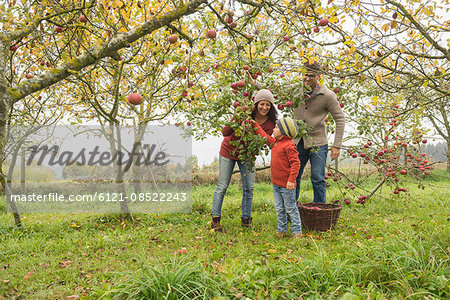Family picking apples from apple tree in an apple orchard, Bavaria, Germany Stock Photo - Premium Royalty-Free, Image code: 6121-08522243