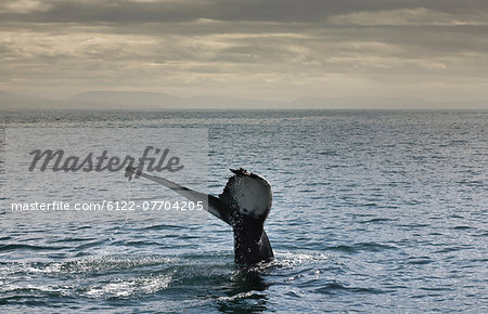 Whales tail coming out of water Stock Photo - Premium Royalty-Free, Image code: 6122-07704205