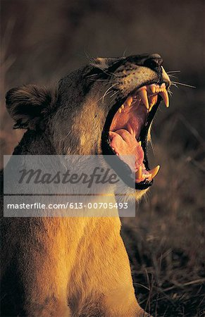 Female lion (Panthera Leo) Stock Photo - Premium Royalty-Free, Image code: 613-00705493