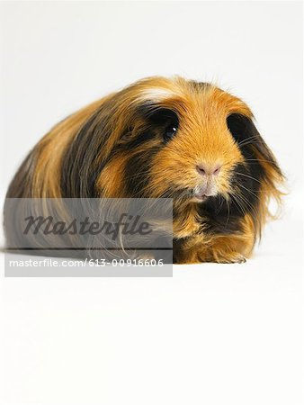 Long haired ginger, black and white guinea pig against white background Stock Photo - Premium Royalty-Free, Image code: 613-00916606