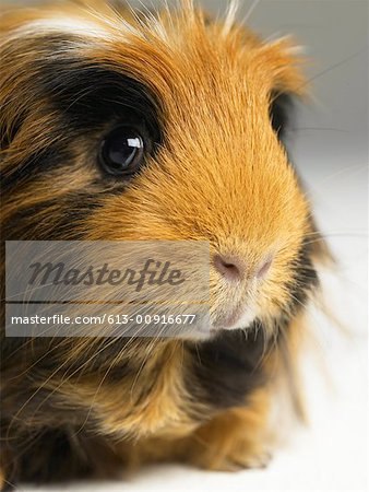Long haired ginger, black and white guinea pig, close-up Stock Photo - Premium Royalty-Free, Image code: 613-00916677