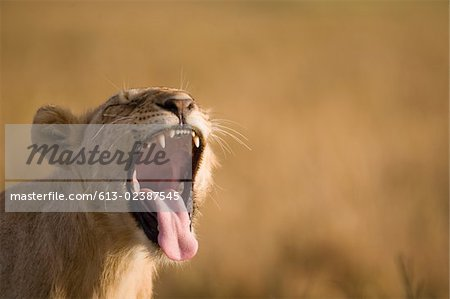 Lion (Panthera leo) cub with open mouth, close-up Stock Photo - Premium Royalty-Free, Image code: 613-02387545