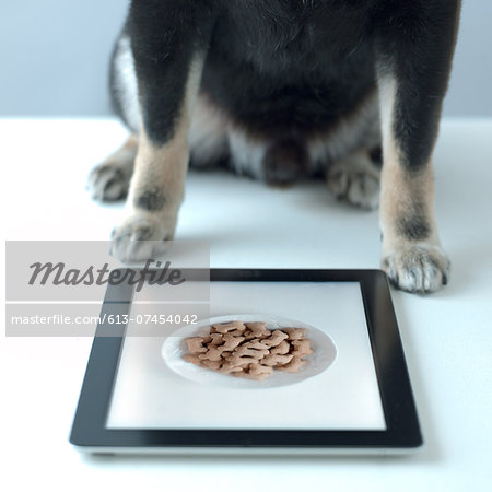 shiba inu black look for food in the tablet Stock Photo - Premium Royalty-Free, Image code: 613-07454042