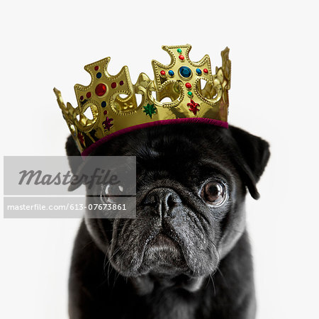 Pedigree Pug wearing a crown against white Stock Photo - Premium Royalty-Free, Image code: 613-07673861