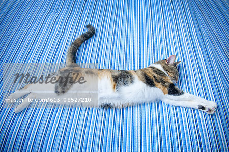 multi-colored cat asleep on blue striped bed Stock Photo - Premium Royalty-Free, Image code: 613-08527210