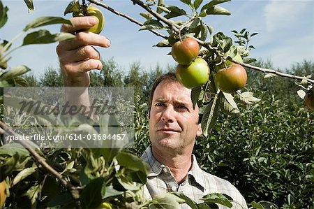 Man picking fresh apples Stock Photo - Premium Royalty-Free, Image code: 614-03684457