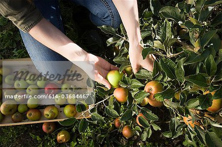 Young woman picking fresh apples Stock Photo - Premium Royalty-Free, Image code: 614-03684467