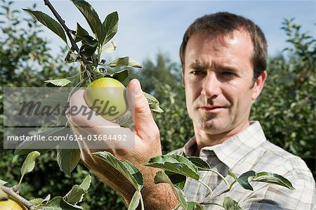 Man picking fresh apples Stock Photo - Premium Royalty-Free, Image code: 614-03684492