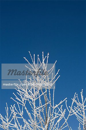 Hoar frost on branches Stock Photo - Premium Royalty-Free, Image code: 614-05955392