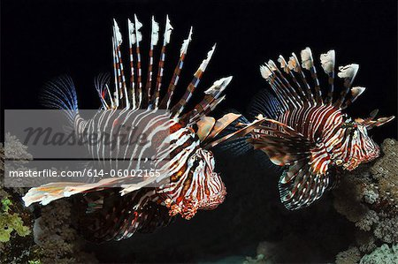 Two Lionfish in the Red Sea, Egypt Stock Photo - Premium Royalty-Free, Image code: 614-06002165