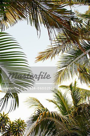 Palm trees, low angle Stock Photo - Premium Royalty-Free, Image code: 614-06002512