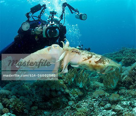 Diver and Mating Cuttlefish Stock Photo - Premium Royalty-Free, Image code: 614-06002540