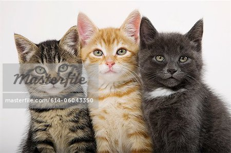 Three kittens side by side Stock Photo - Premium Royalty-Free, Image code: 614-06043350