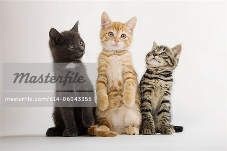Three kittens sitting up Stock Photo - Premium Royalty-Free, Image code: 614-06043355