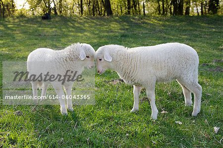 Two lambs face to face Stock Photo - Premium Royalty-Free, Image code: 614-06043365