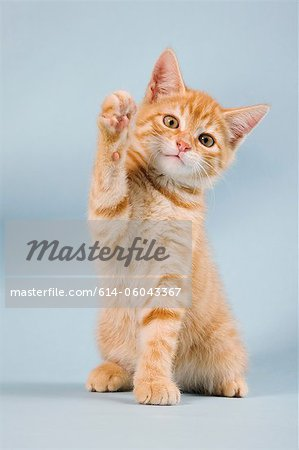 Ginger kitten waving Stock Photo - Premium Royalty-Free, Image code: 614-06043367