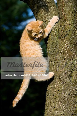 Ginger cat gripping tree Stock Photo - Premium Royalty-Free, Image code: 614-06043380
