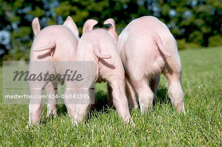 Three piglets in field, rear view Stock Photo - Premium Royalty-Free, Image code: 614-06043395