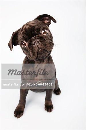 Pug dog sitting down, portrait Stock Photo - Premium Royalty-Free, Image code: 614-06043401