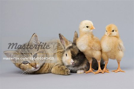 Kitten, rabbit and chicks Stock Photo - Premium Royalty-Free, Image code: 614-06043413
