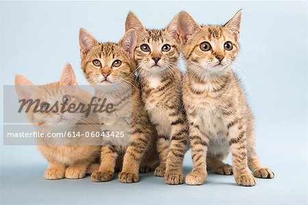 Four cats side by side Stock Photo - Premium Royalty-Free, Image code: 614-06043425