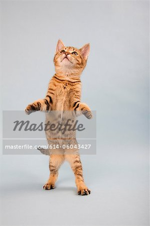 Cat standing on back legs Stock Photo - Premium Royalty-Free, Image code: 614-06043427