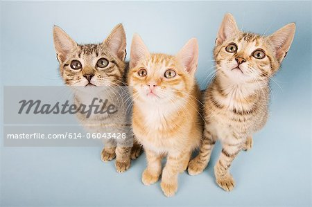 Three cats looking up Stock Photo - Premium Royalty-Free, Image code: 614-06043428