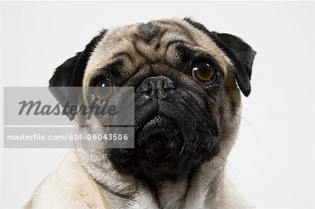 Pug dog close up, portrait Stock Photo - Premium Royalty-Free, Image code: 614-06043506
