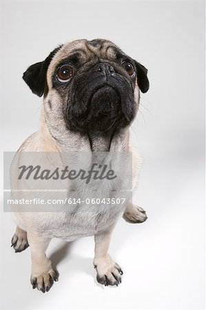 Pug dog, portrait Stock Photo - Premium Royalty-Free, Image code: 614-06043507