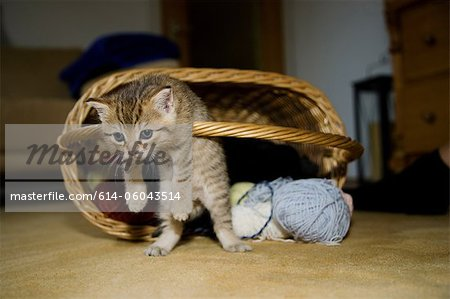 Kittens hanging on basket handle Stock Photo - Premium Royalty-Free, Image code: 614-06043514