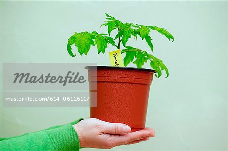 Person holding a tomato plant Stock Photo - Premium Royalty-Free, Image code: 614-06116117