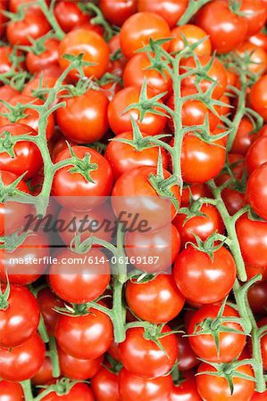 Tomatoes on vines Stock Photo - Premium Royalty-Free, Image code: 614-06169187