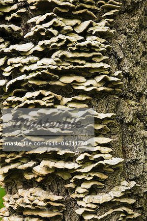 Tree fungi on maple tree trunk in spring Stock Photo - Premium Royalty-Free, Image code: 614-06311730