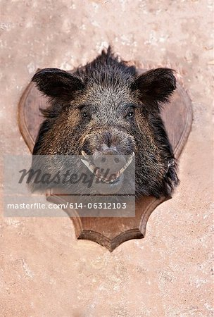 Boar's head trophy on a wall Stock Photo - Premium Royalty-Free, Image code: 614-06312103