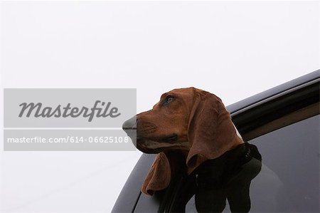 Dog poking head out car window Stock Photo - Premium Royalty-Free, Image code: 614-06625108