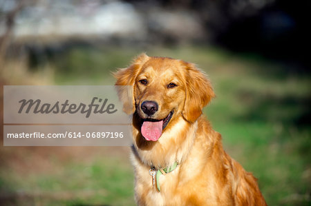Portrait of golden retriever in sunlight Stock Photo - Premium Royalty-Free, Image code: 614-06897196