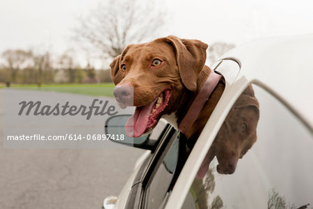 Dog with head sticking out of car window Stock Photo - Premium Royalty-Free, Image code: 614-06897418