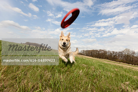 Alsatian dog running through field to catch frisbee Stock Photo - Premium Royalty-Free, Image code: 614-06897423