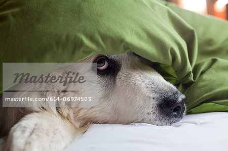 Domestic dog hiding under duvet Stock Photo - Premium Royalty-Free, Image code: 614-06974509