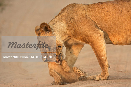 Lioness carrying cub, Mana Pools National Park,  Zimbabwe, Africa Stock Photo - Premium Royalty-Free, Image code: 614-06974570